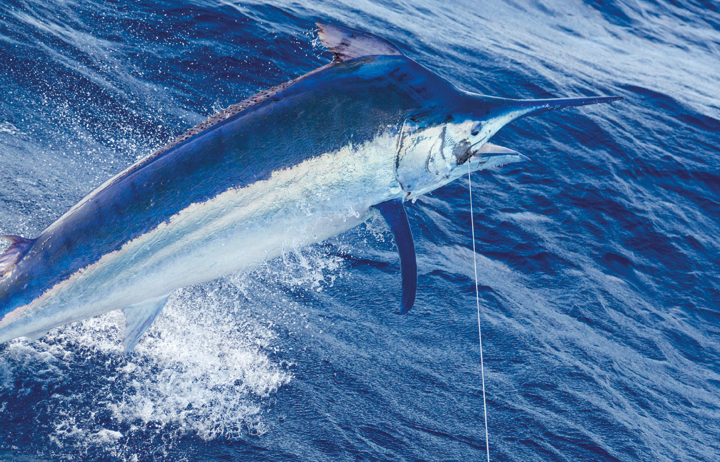 Mother of all Marlin | FRANK Magazine